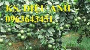 Địa chỉ cung cấp cây giống chanh tứ quý, chanh 4 mùa, chanh không hạt chuẩn, uy tín, chất lượng cao