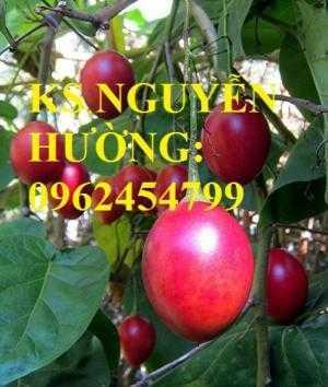 Cung cấp cây giống cà chua than gỗ, cây giống ăn quả các loại. giao cây toàn quốc