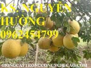 Cung cấp giống cây bưởi diễn, cây giống ăn quả các loại, giao cây toàn quốc