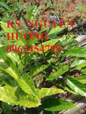 Cây ba kích, tác dụng chữa bệnh cây ba kích, cung cấp cây giống ba kích toàn quốc, giao cây toàn quốc