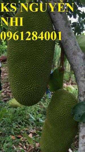Mít trái dài, cây giống mít trái dài, kỹ thuật trồng và chăm sóc mít trái dài, cung cấp cây giống toàn quốc