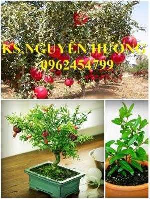 Cung cấp cây giống lựu đỏ, cây lựu lùn ấn độ. Cây giống đảm bảo chất lượng - giao cây toàn quốc