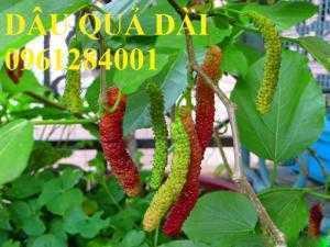 Cây dâu quả dài, cung cấp cây giống dâu quả dài chất lượng. Địa chỉ cung cấp cây giống toàn quốc