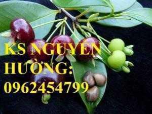 Cây giống cherry anh đào, cây giống cherry brazin. Địa chỉ cung cấp cây giống toàn quốc