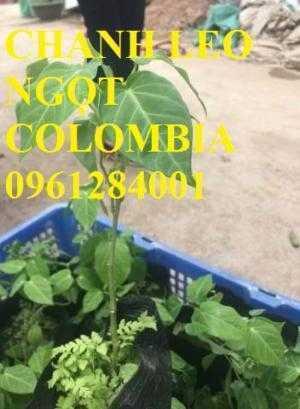 Chanh leo ngọt colombia, chanh vàng ngọt, chanh dây ngọt colombia, cây chanh ngọt nhập khẩu