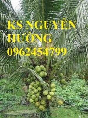 Dừa xiêm lùn, dừa xiêm xanh lùn, dừa xiêm đỏ lùn. Địa chỉ cung cấp cây giống toàn quốc