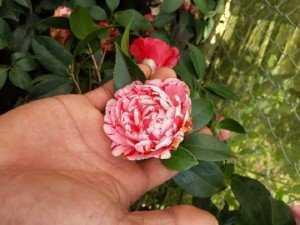 Hoa Trà mi đủ kích cỡ