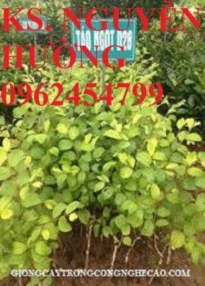 Táo ngọt d28, táo ngọt cho năng suất cao. Địa chỉ cung cấp cây giống toàn quốc