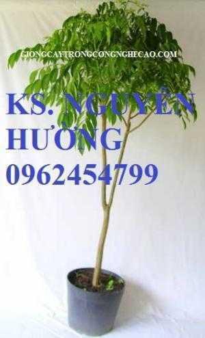 Cây giống cóc thái, kỹ thuật trồng cây cóc thái. Địa chỉ cung cấp cây giống toàn quốc