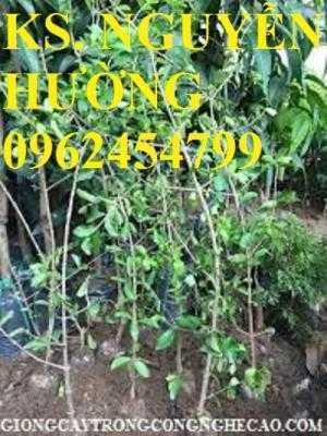 Cây giống sơ ri, cung cấp cây giống sơ ri, quả sơ ri. Địa chỉ cung cấp giống cây ăn quả toàn quốc