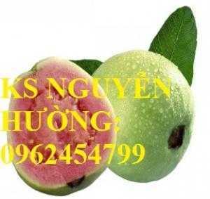 Ôỉ Đài Loan ruột hồng, cây giống ổi đài loan năng suất cao. Trung tâm cung cấp cây giống ăn quả toàn quốc