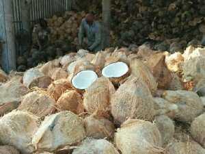 Dừa khô cơm dày độ béo cau chất lượng