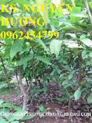 Cây roi đỏ, cây giống roi đỏ. Địa chỉ cung cấp cây roi đỏ cho năng suất cao, giao cây toàn quốc