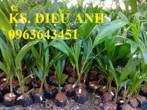 Bán cây giống dừa xiêm xanh lùn, giống dừa xiêm xanh, giống dừa xiêm lùn