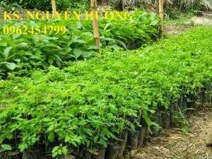 Cung cấp cây giống chùm ngây, hạt chùm ngây. Trung tâm cung cấp giống cây toàn quốc