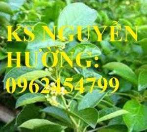 Cung cấp cây giống thìa canh, cây dây muôi, cây lừa ty rừng, giao cây toàn quốc