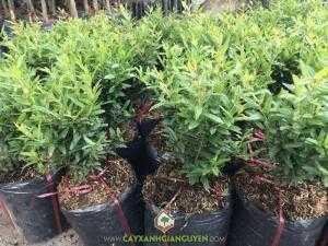 Cây Lựu Đỏ Thái