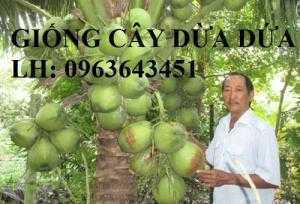 Bán cây giống dừa: dừa xiêm xanh lùn, giống dừa dứa thơm, dừa xiêm dứa Thái Lan, dừa dứa Thái Lan chuẩn, uy tín