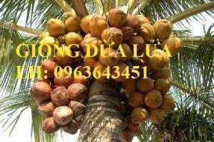 Cung cấp cây giống dừa xiêm dây, dừa xiêm lửa, dừa đỏ, dừa xiêm xanh lùn, dừa chùm chuẩn, uy tín