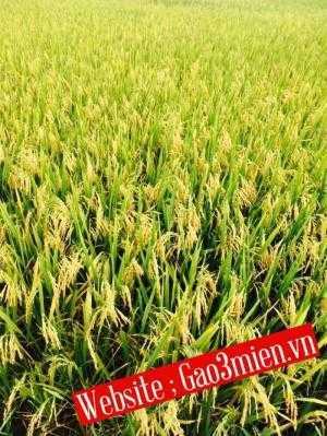 Gạo tám thơm hải hậu