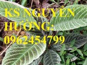 Giống cây dược liệu, cây khôi nhung, cây đẳng sâm, cây đương quy, giao cây toàn quốc
