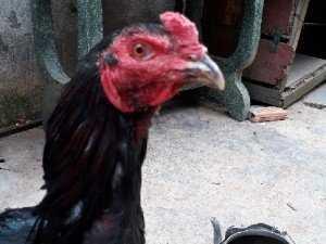 Bán gà đòn tơ Bình Dương.bán gà đòn con