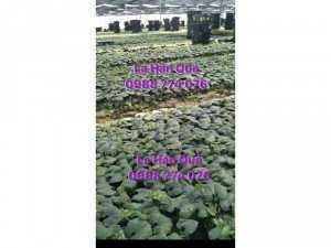 Cung cấp giống cây La Hán Quả