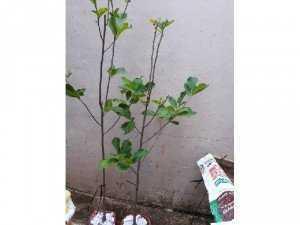 Cây hoa mộc lan 1.5 - 2 mét to đẹp