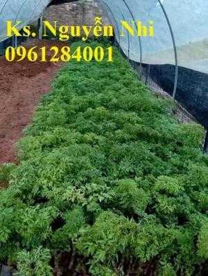 Điểm bán giống cây đinh lăng, đinh lăng lá nhỏ, đinh lăng lá nếp, cây giống đinh lăng, cây giống dược liệu
