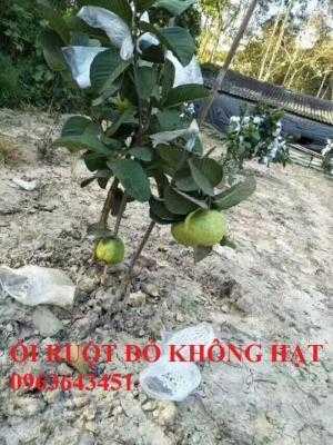 Cung cấp cây giống ổi ruột đỏ không hạt Đài Loan, ổi Ruby, ổi đỏ Đài Loan chân trâu năng suất cao