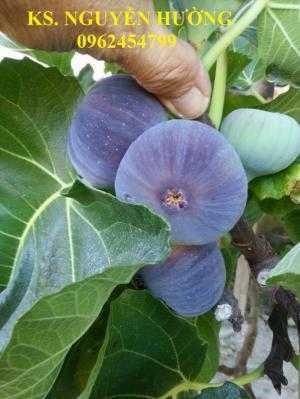 Cung cấp cây giống sung mỹ, sung ngọt, kỹ thuật trồng sung mỹ cho năng suất cao, giao cây toàn quốc