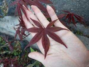 Cây phong lá đỏ 7 thùy