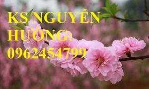 Cung cấp cây giống cây đào phai, cây hoa đào trồng chơi tết, kỹ thuật trồng cây hoa đào, giao cây toàn quốc