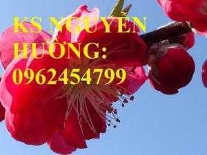 Cung cấp cây giống đào bích, cây hoa đào bích trồng chơi tết, cây giống chất lượng phát triển tốt
