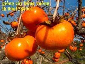 Cung cấp giống cây hồng Nhật Bản, hồng fuyu, hồng vuông, giống cây hồng ăn quả, cây giống chất lượng