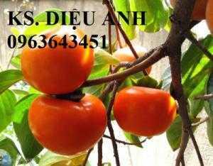 Cung cấp cây giống hồng ăn quả: Hồng giòn Nhật Bản, hồng MC1, Hồng quả vuông, hồng Nhật Bản Fuyu