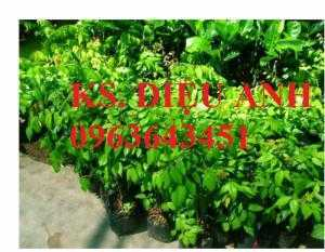Cung cấp cây giống khế: giống khế chua, giống khế ngọt, cây khế choai đang có quả, uy tín, chất lượng