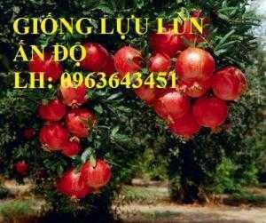 Địa chỉ bán cây giống lựu ăn quả: Lựu lùn Ấn Độ, lựu đỏ Ai Cập, lựu đỏ Thái Lan, lựu hoa Việt Nam chuẩn