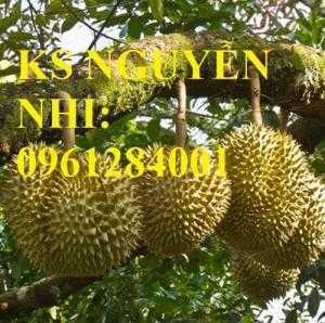 Cung cấp cây giống sầu riêng ri6, sầu riêng cơm vàng hạt lép, cây sinh trưởng tốt cho năng suất cao