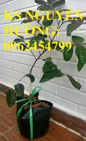 Cung cấp giống cây nhãn tím, nhãn đỏ, cây giống sinh trưởng phát triển tốt, giao cây toàn quốc