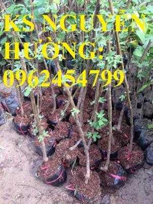 Cung cấp giống cây sung mỹ, sung ngọt, sung đường, cây giống sinh trưởng tốt năng suất cao