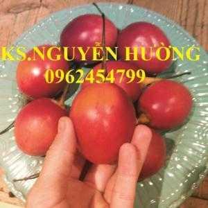 Địa chỉ cung cấp cây giống cà chua thân gỗ, hạt giống cà chua thân gỗ, cây giống cho năng suất cao