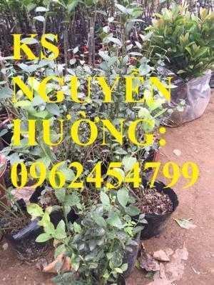 Địa chỉ chuyên cung cấp cây giống việt quất, hướng dẫn cách trồng và chăm sóc cây việt quất