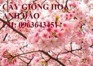 Cung cấp cây giống hoa anh đào, giống hoa anh đào Nhật Bản, giống hoa đào Nhật, hoa đào Nhật Sakura, uy tín, chất lượng, giao hàng toàn quốc