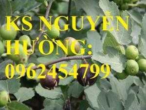 Cung cấp cây sung mỹ - cây ăn quả độc đáo cho nhiều dinh dưỡng, giao cây toàn quốc