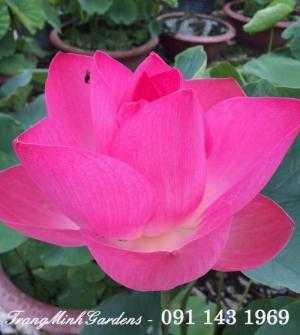 Hoa sen Nhật ( Hoa sen Hàn Quốc) hồng
