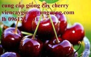 Cây giống cherry, cherry brazil, cherry nhiệt đới, cherry anh đào, giống cây cherry