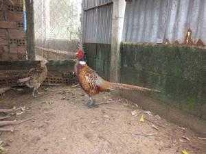 Chim trĩ đỏ Đồng Nai