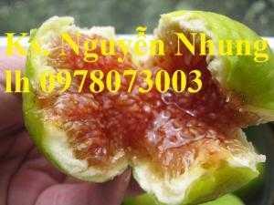 Cung cấp giống cây sung mỹ, cây vả tây, sung ngọt, sung đường, cây giống đầu dòng, giao hàng toàn quốc