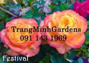 Hồng bụi mini siêu nụ Festival terrazza (terrazza màu cam vàng)